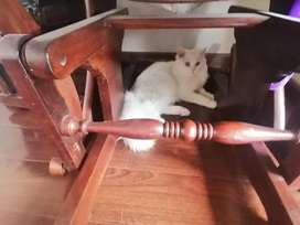 Pearsian cat for sale