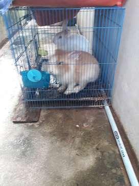 jual 2 ekor kelinci dengannkandangnya
