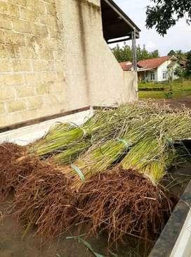 Cegah Longsor Dengan Penanaman Rumput Vetiver