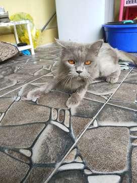 Di jual kucing persia platnose