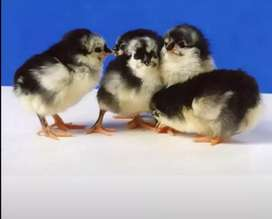 Austrolop chicks