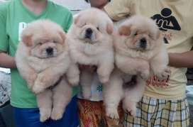 Chow chow puppy now in DHA lahore