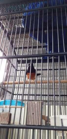 Burung murai kotabaru