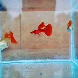 Ikan Guppy AFR sepasang
