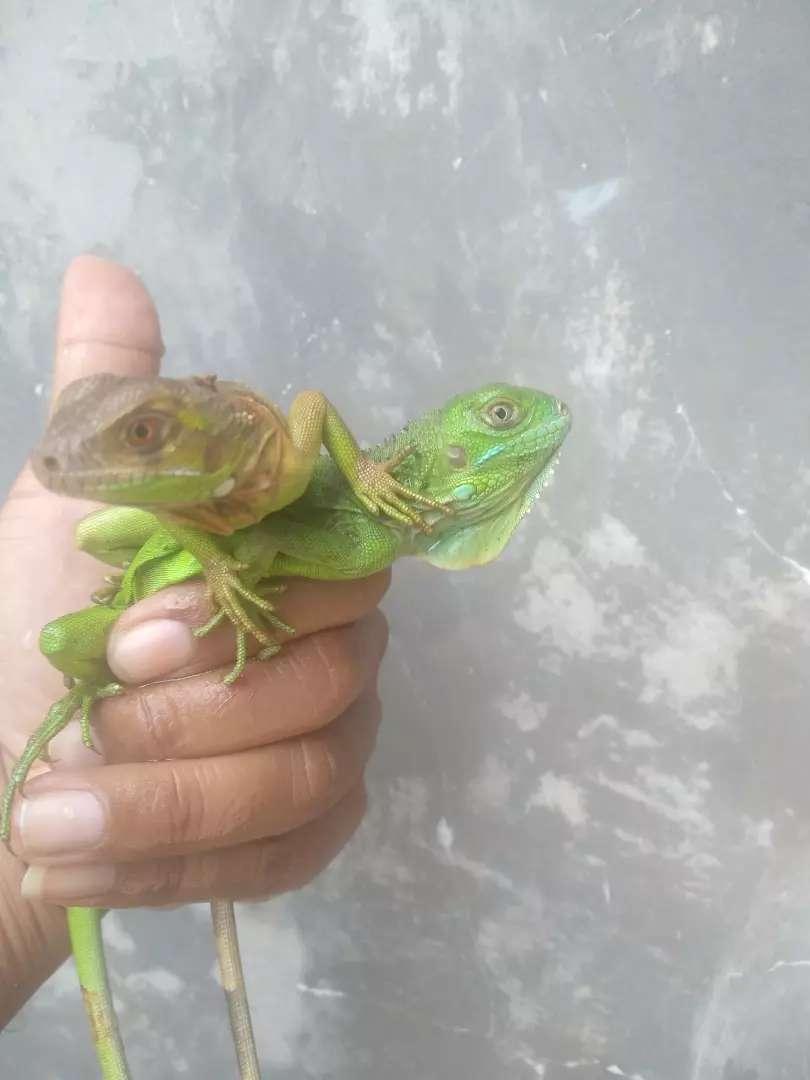 Baby iguana green colom and super red murah 0