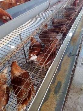 Ayam petelur umur 16minggu (pullet)