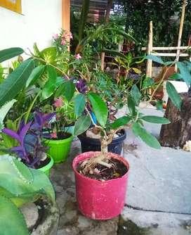 Jual bonsai Amplasan putih