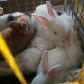 Anakan Kelinci anggora ku mencari majikan baru..