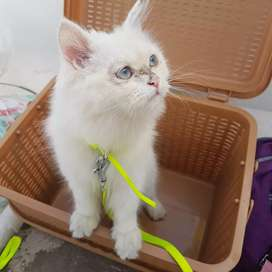 Persion cat urgent selling