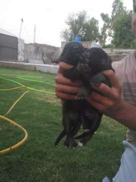 Very healthy beautiful puppies of GSD double coat