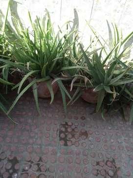 Allovira plants with pot.