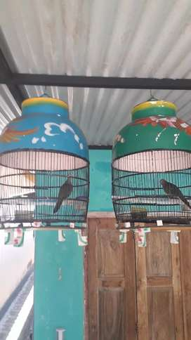 Perkutut Narayana & Badranaya 2 burung 2 karakter 2 makna dimaharkan