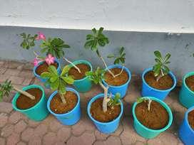 Bunga goban sama pot