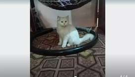 Persian cat male 1 year age