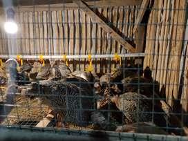 Dijual Anakan Ayam mutiara