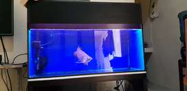 Arowana golden red tail, rtg blue base