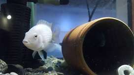 Convict cichlid breeder pair with babies