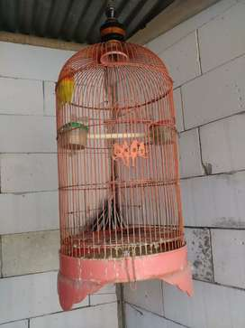Love bird jantan