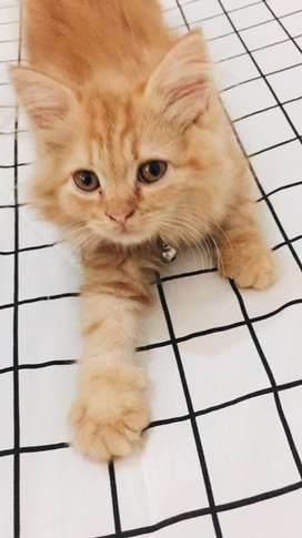 Kucing Persia Red Tabby