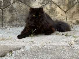 Brownish black Persian cat (male) 10month