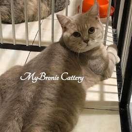Kucing british shorthair male pedigree