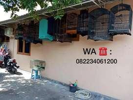 Murai Batu Medan Di Surabaya Ternakan Sendiri
