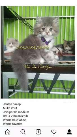Kitten persia Abu putih