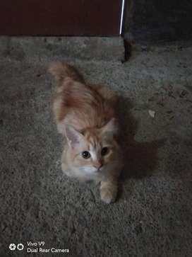 Jual kucing persia umur 4 setengah bulan