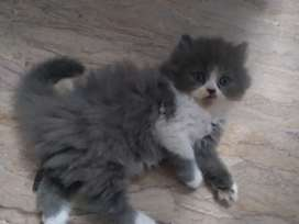 Persion cat baby blue eyes 15 thousand ka one