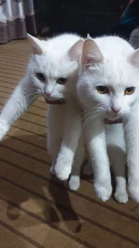 Pair of White Persian Cats