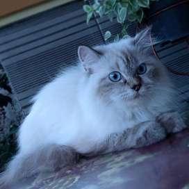 Kucing Ragdoll pure istimewa