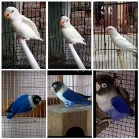 Jual indukan Love bird 1. Pasang ALBINO MM +Violet ungu terong