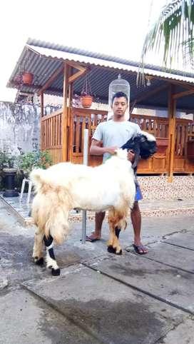 Raja kambing Qurban dan aqikah