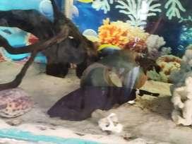 Feather fish for aquarium