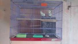 Cack tail parrot pair and cage