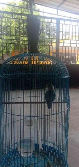 Dijual love bird 400k sama sangkar plus pion