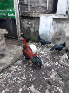 Ayam bangkok kualitas tra jawara produkan