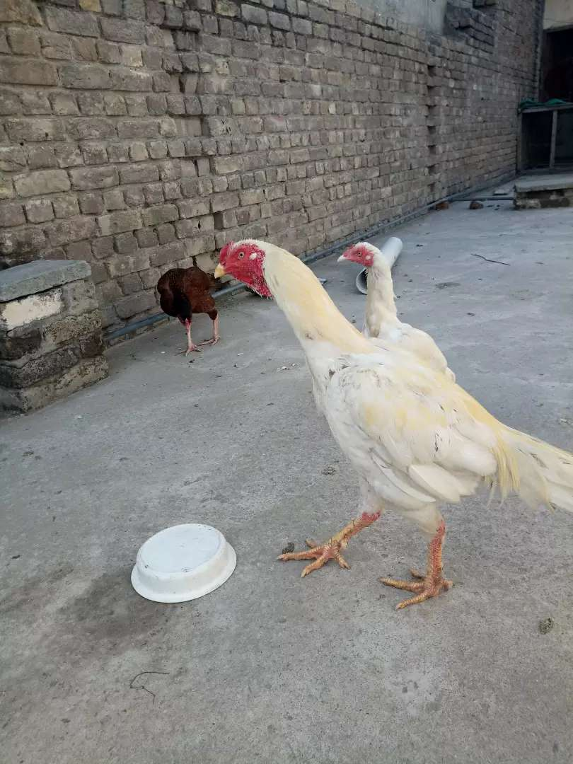 3hens 2 white and one red  aseel white murga 0