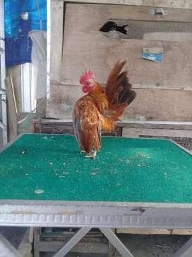 Ayam serama jantan siap