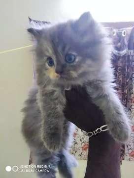 പേർഷ്യൻ cat