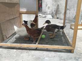 Duck and Hen and Pinjra for sale