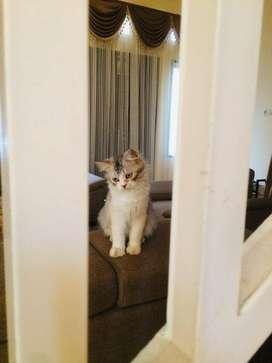 Lepas Adopsi Kucing Persia 8 Bulan