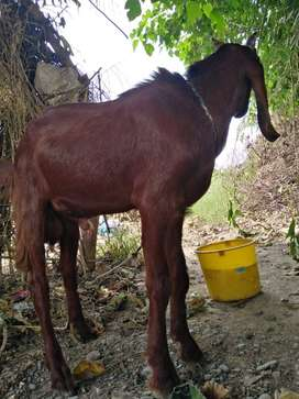 Red and black Goat Bakra for sale