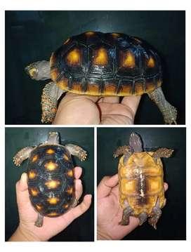 Kura darat RF redfoot tortoise