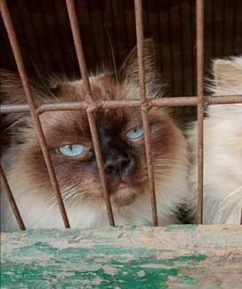 Beautiful cat female full trained.  Exchange with aseel pairs