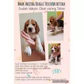 Dijual Cepat Anak Beagle Stambum Tricolor Betina 8 minggu