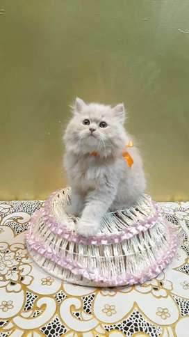 All types of cats and kittens are available cash on delivery