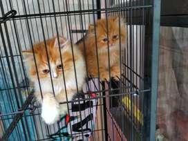 Kitten Pesia Bulu Kapas