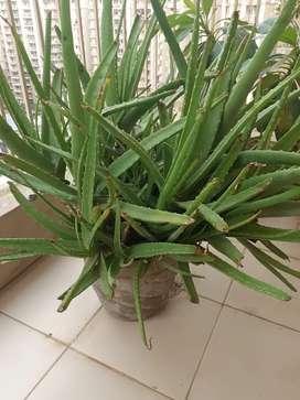 Aloe Vera Green real plant