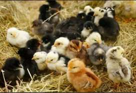 Australorp/RiR/Sussex Hybrid-Cross Day Old Chicks A++ Quality